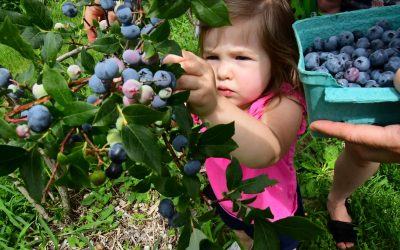 PYO Blueberries