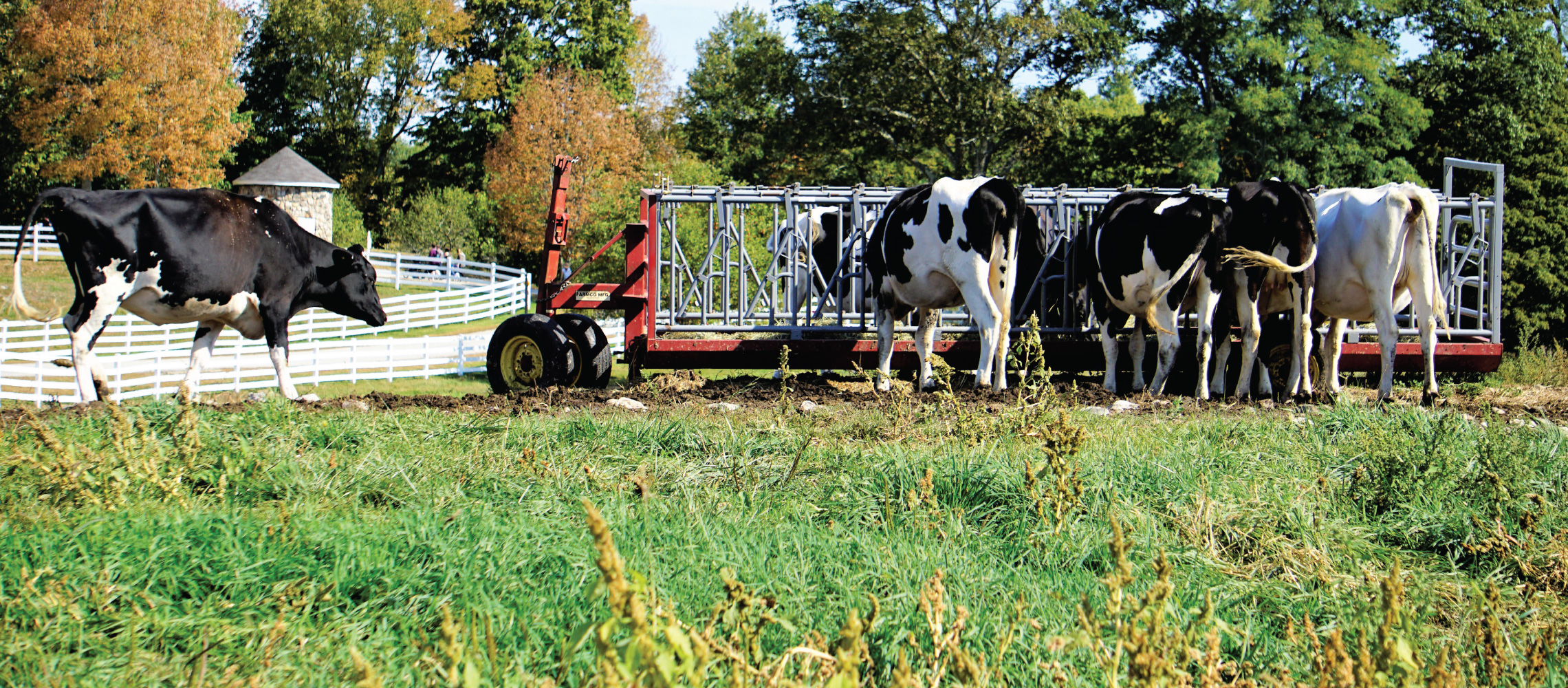 fall cows pineland farms new gloucester maine